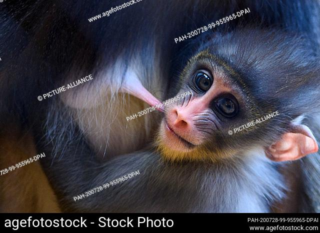 28 July 2020, Saxony-Anhalt, Magdeburg: A Mandrill cub is suckling in the lap of its mother at the Magdeburg Zoo. Midsummer is the ideal time to observe young...