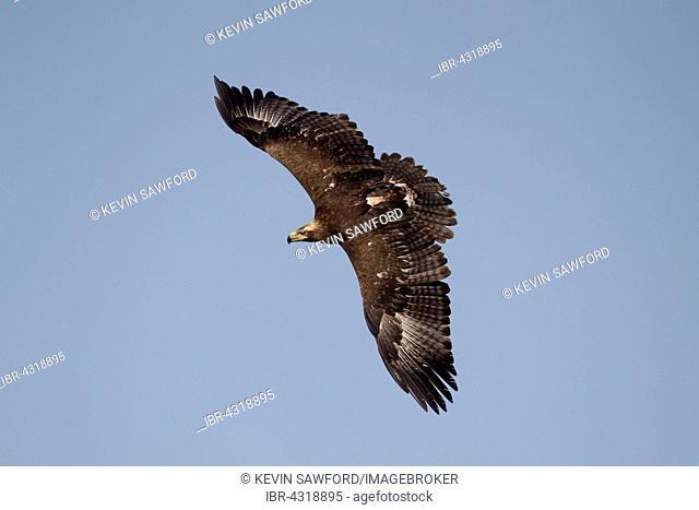 Steppe Eagle (Aquila nipalensis), in flight, captive, United Kingdom