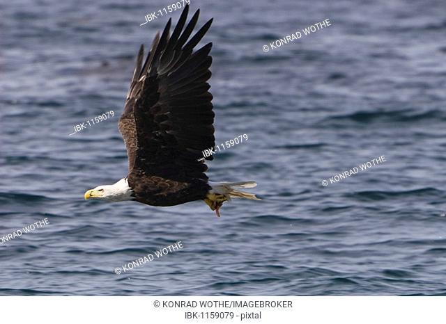 Bald Eagle (Haliaeetus leucocephalus) in flight, Pacific Coast, Olympic National Park, Washington, USA