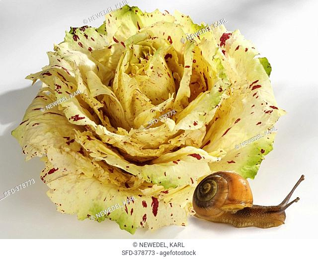 Radicchio Castelfranco with snail