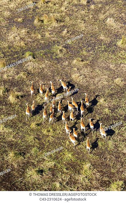 Red Lechwe (Kobus leche leche), roaming herd, aerial view, Okavango Delta, Moremi Game Reserve, Botswana