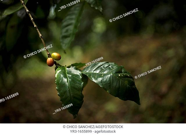 Coffee grows in El Triunfo Biosphere Reserve in the Sierra Madre mountains, Chiapas state, Mexico