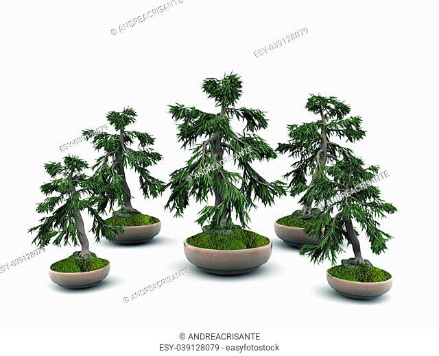 bonsai isolated on white background