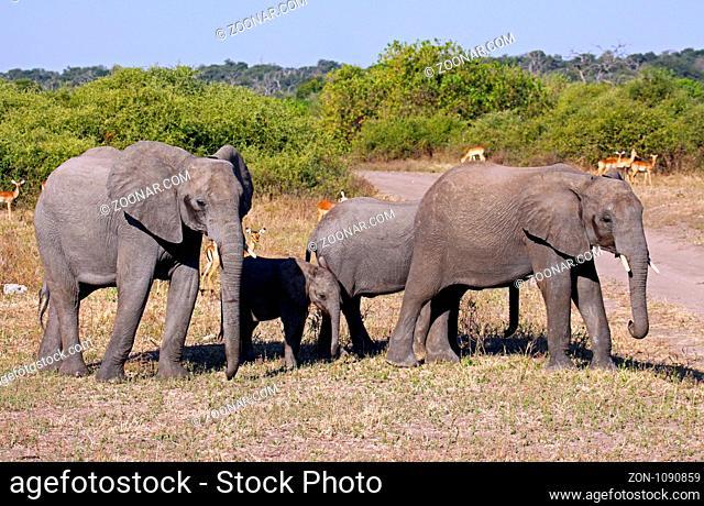 Afrikanische Elefanten (Loxodonta africana) mit Nachwuchs im Chobe Nationalpark, Botswana