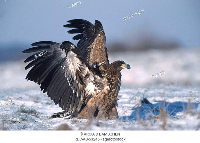 White-tailed Eagle juvenile biosphere preserve Elbe Lower Saxony Germany Haliaeetus albicilla