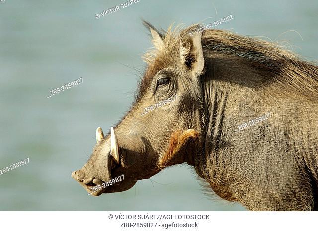 Common warthog (Phacochoerus africanus). Oiseaux du Djoudj National Park. Saint-Louis. Senegal