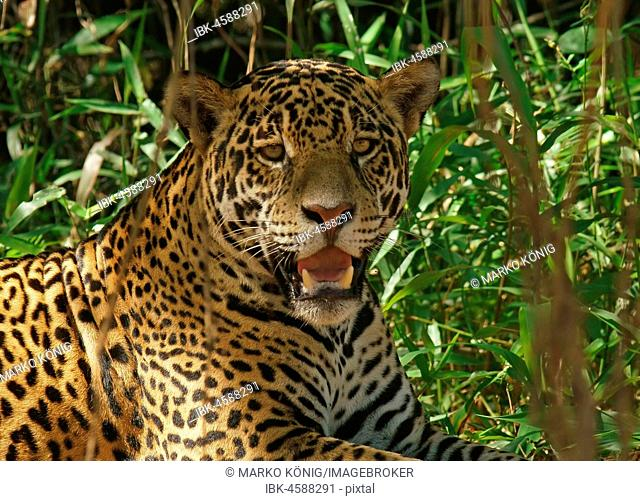 Jaguar (Panthera onca), rests in the shade, Portrait, Pantanal, Mato Grosso, Brazil