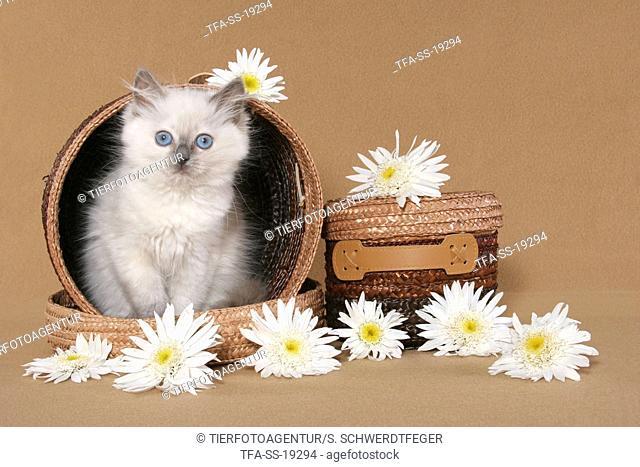 ragdoll kitten in basket