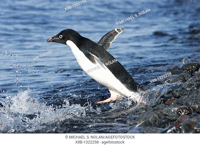 Adult Adelie penguin Pygoscelis adeliae returning to the sea to gather food for its chick on Paulet Island, Antarctic Peninsula  Adelie penguins are truly an...