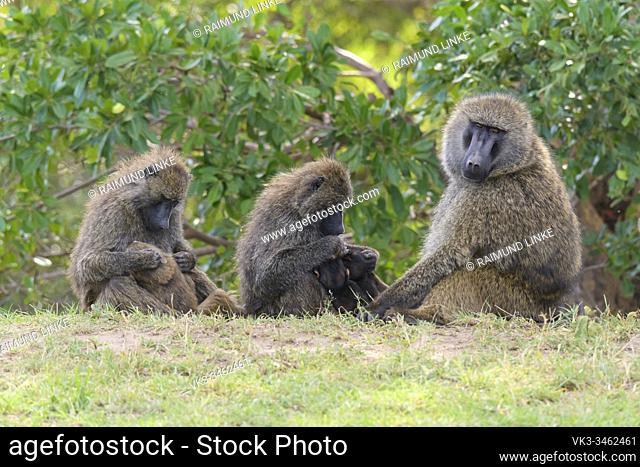Olive baboon, Papio anubis, group with young, Masai Mara National Reserve, Kenya, Africa