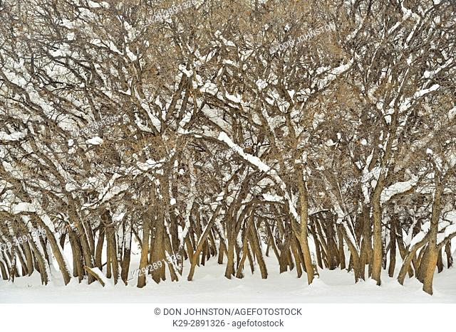 Cottonwood trees (Populous spp.) with fresh snow, Grand Staircase Escalante National Monument, Utah, USA