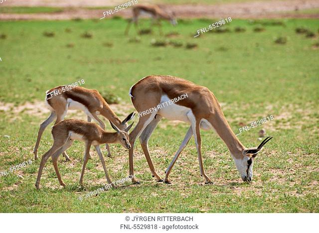 Grazing Springboks Antidorcas marsupialis, Kgalagadi Transfrontier Park, South Africa