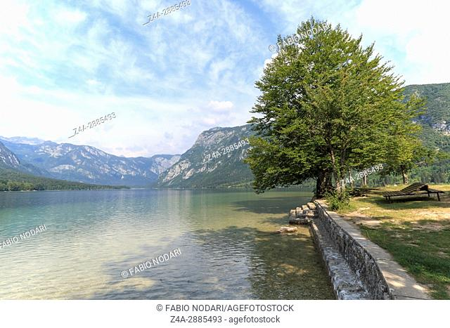 Famous tree on lake Bohinj, a famous destination not far from lake Bled