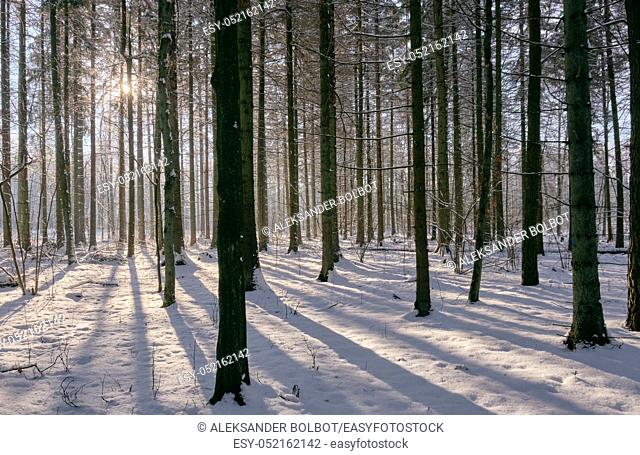 Old oak trees of deciduous stand in sunny winter day, Bialowieza Forest, Poland, Europe