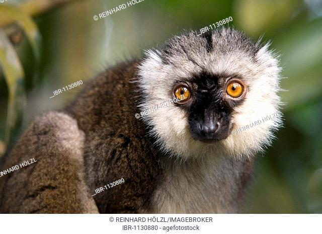 White-headed Lemur (Eulemur fulvus albifrons), Masoala Rainforest, Zurich Zoo, Switzerland, Europe
