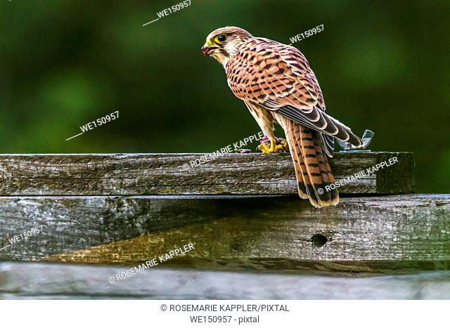 germany, saarland, Homburg - A common krestel with a captured field mouse