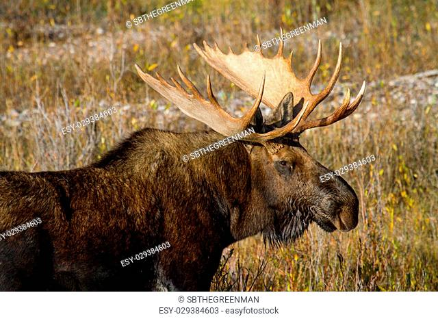 a bull moose bust with big antlers in nice autumn light