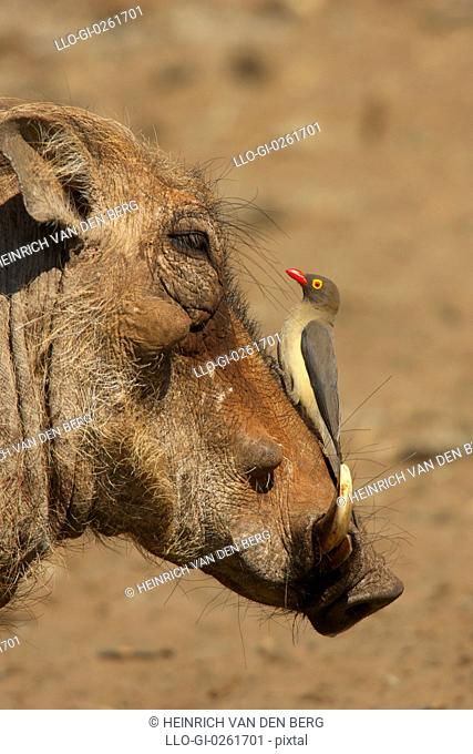An Oxpecker on a warthogs snout, Isimangaliso, Kwazulu-Natal, South Africa