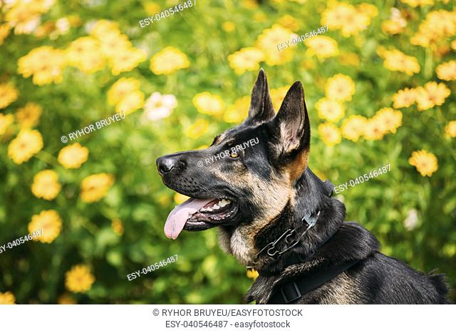 The Portrait Of Staring Purebred Short-Haired German Shepherd Adult Dog Or Alsatian Wolf Dog With Prick-Ears, Opened Jaws, Tongue, Teeth