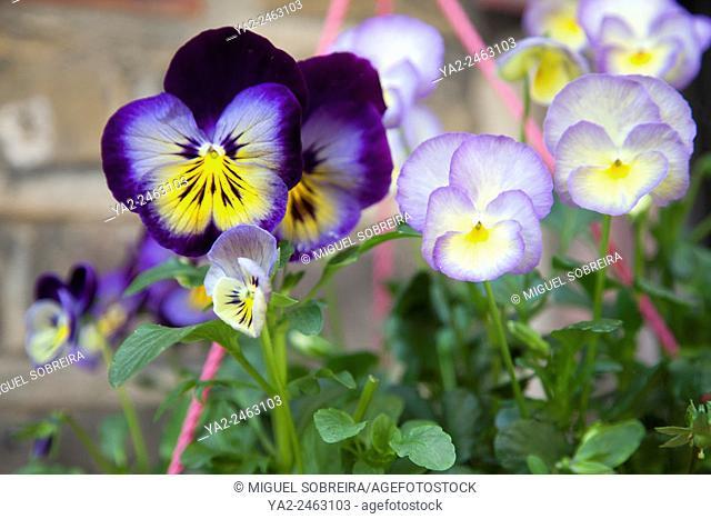 Violas an Pansies in Hanging Basket