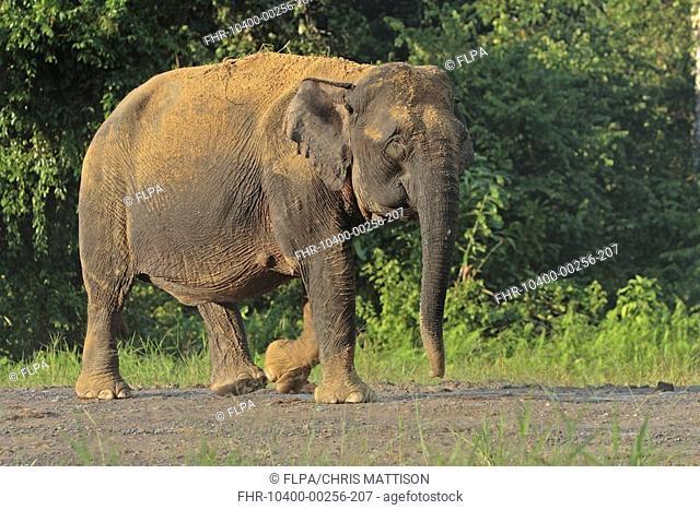 Bornean Elephant Elephas maximus borneensis adult walking, Kinabatangan River, Sabah, Borneo, Malaysia