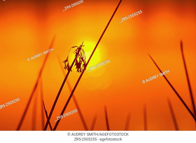 Red, orange, and yellow hues silhouette reeds at sunset; Florida, USA
