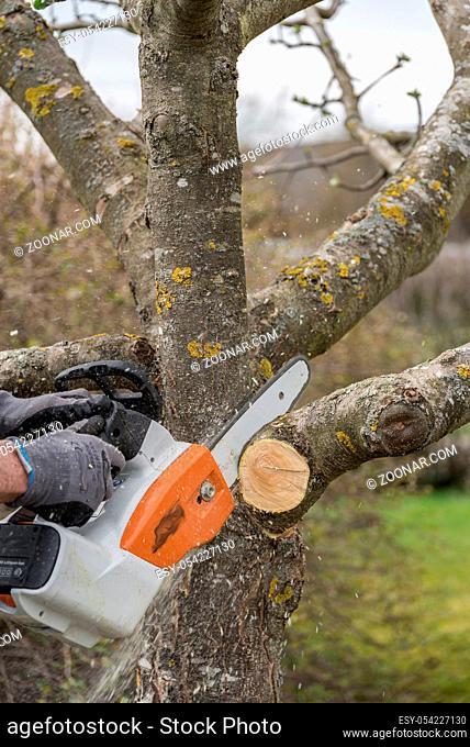 Gartenarbeit eines Gärtners mit Motorsäge - Sommerschnitt bei einem Obstbaum