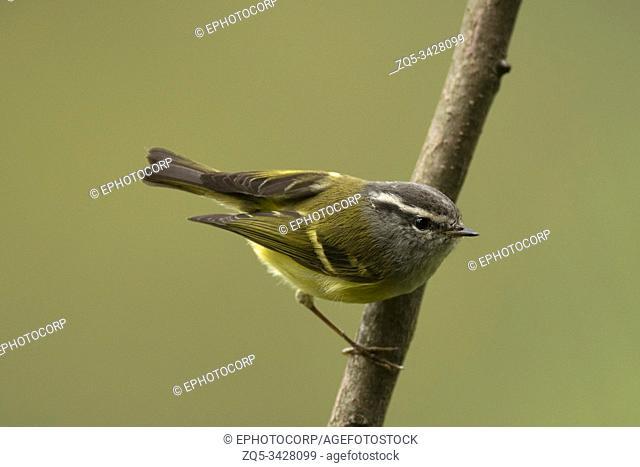 Ashy-throated warbler, Phylloscopus maculipennis, Mishmi Hills, Arunachal Pradesh, India