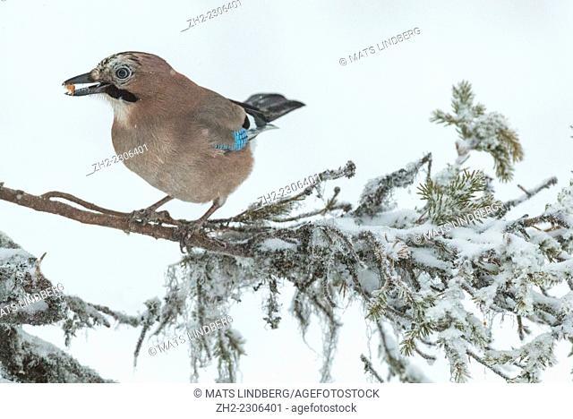 Eurasian jay sitting in a snowy spruce with a peanut in his beak, Gällivare, Swedish lapland
