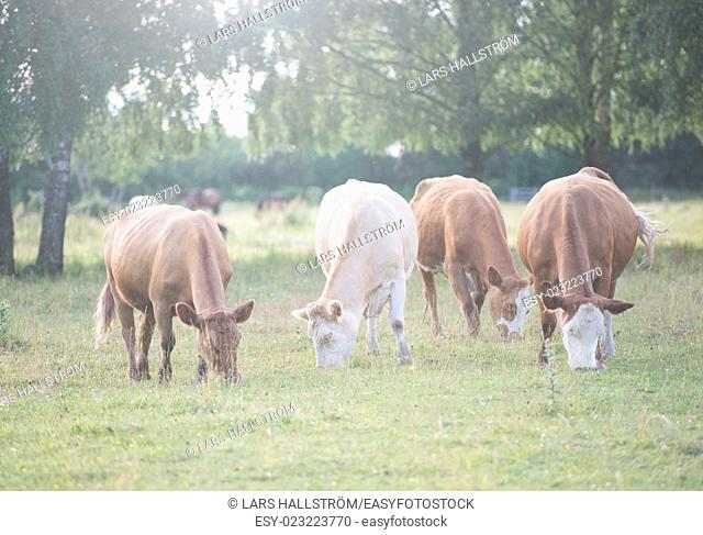 Idyllic and beatiful nature scene. Rural summer farmland with grazing cows in field, Sweden