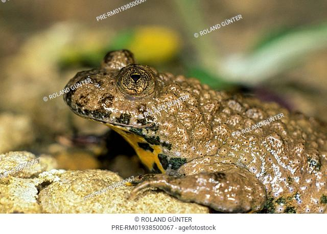 Yellow-Bellied Toad, Bombina variegata / Gelbbauchunke, Bombina variegata