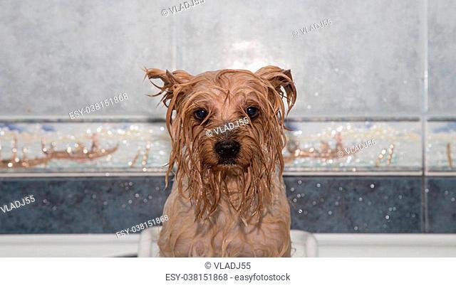 Little wet Yorkshire terrier after the bath