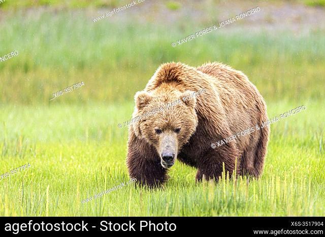 Male grizzly brown bear - Ursus arctos -, Lake Clark National Park, Alaska, U. S. A