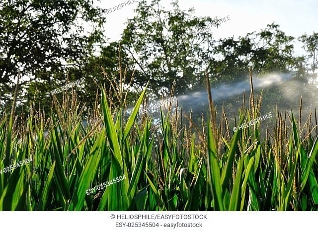 Water sprinkler installation in a field of maize in Dordogne