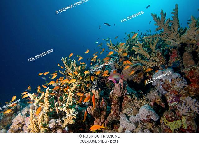 School of fish by corals, Red Sea, Marsa Alam, Egypt