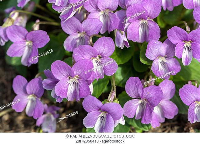 "Viola jooi """"Soft lilac"""" in bloom"