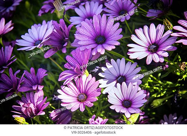 Margarita flowers