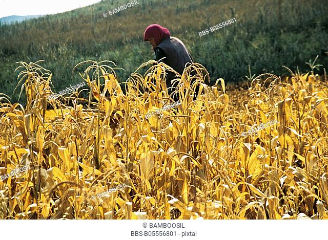 Woman reaping wheat in field, Guyuan County, Hebei Province of People's Republic of China