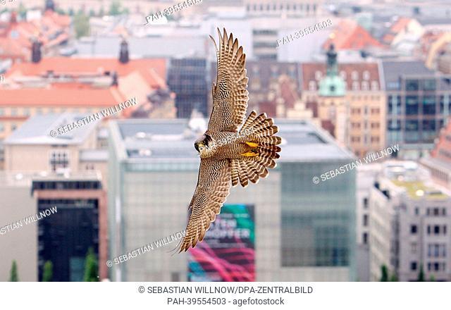 An adult Peregrine Falcon (Falco Peregrinus) flies above Leipzig, Germany, 16May 2013. Employees of the Wanderfalkenschutz e. V