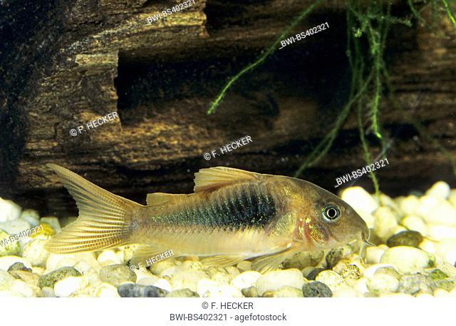 Bronze Corydoras Green Corydoras Bronze Catfish Lightspot Corydoras Stock Photo Picture And Rights Managed Image Pic Bwi Bs402321 Agefotostock