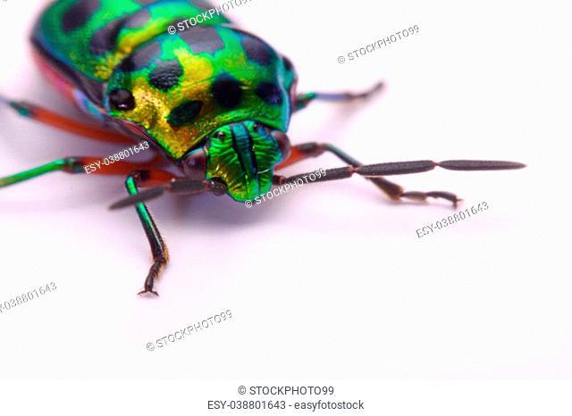 Close up Rainbow shield bug holding (Calidea dregii) on a white background
