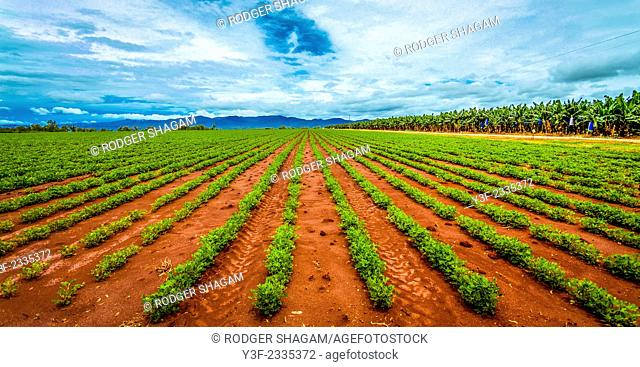 rows and rows, parallel. peanut plants dissapear to the horizon in a plantation