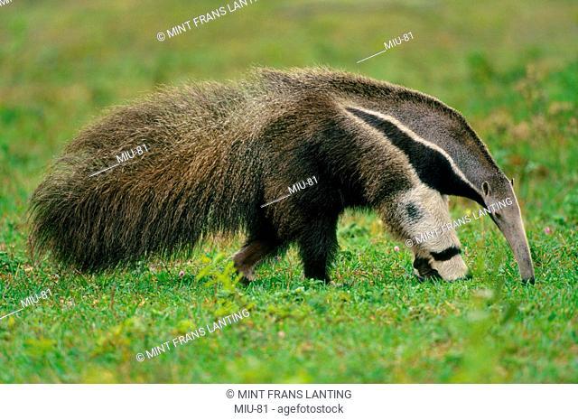 Giant anteater searching for termites, Myrmecophaga tridactyla, Pantanal, Brazil