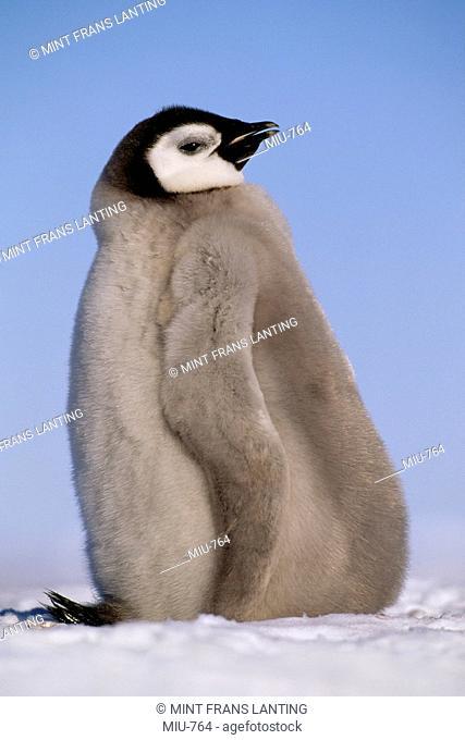 Emperor penguin chick, Aptenodytes forsteri, Weddell Sea, Antarctica