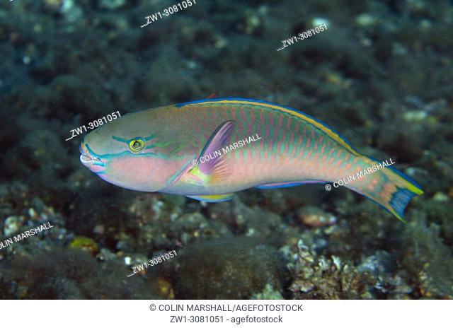 Tricolor Parrotfish (Scarus tricolor, Scaridae family), Sedam dive site, Seraya, near Tulamben, east Bali, Indonesia