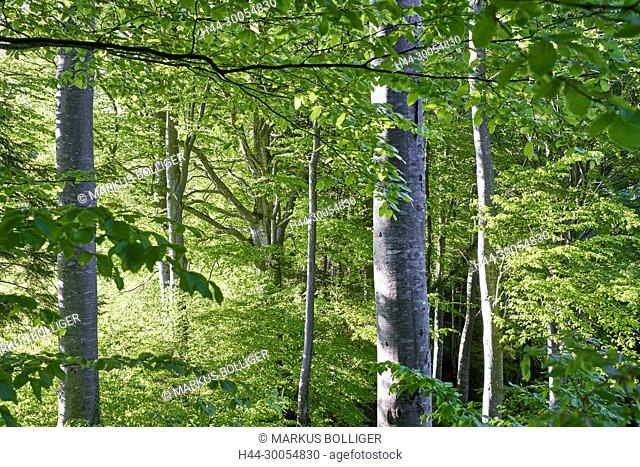 Wood, deciduous forest, Buchenwald, Fagetum, tree, foliage tree, nature wood, fagus, Fagus sylvatica, copper beech, beech, old wood island, burgistein, come