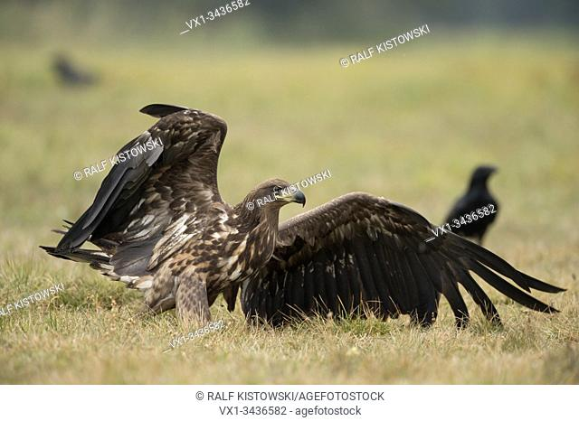 White tailed Eagle ( Haliaeetus albicilla ) , powerful subadult immature bird of prey, after landing, open wings.