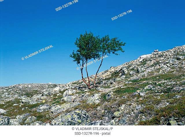 Tree on a hillside, Czech Republic