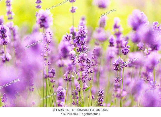 Field of purple lavender flowers in summer