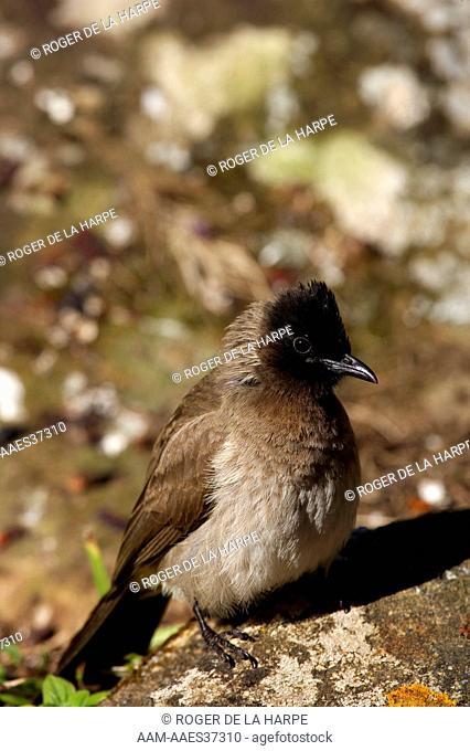 Blackeyed (Common) Bulbul (Pycnonotus barbatus). Royal Natal National Park. uKhahlamba Drakensberg Park. KwaZulu Natal. South Africa